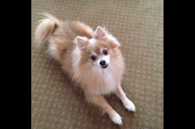 Melissa Patno's pet Pomeranian