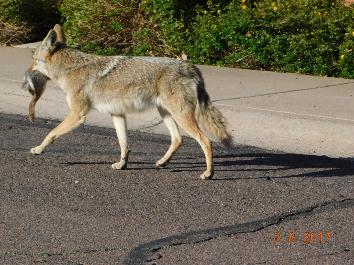 Ahwatukee Board of Management employee Paula Fosbinder photographed this coyote getting breakfast the morning of March 8th
