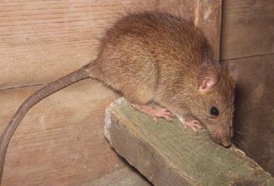 Roof rats can chew their way through some buildings such as wallboard.