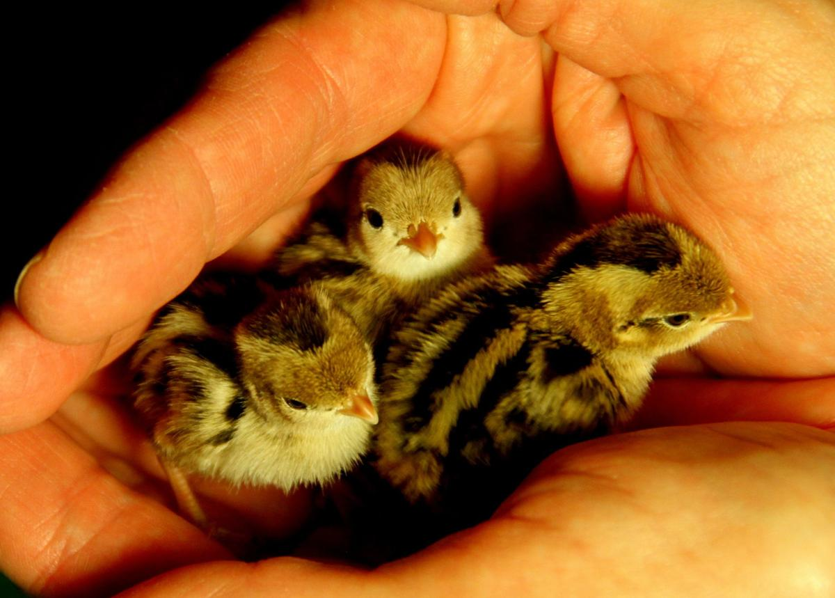 Cheri Fromm holds a trio of 2-day-old baby quails she rescued from blistering temperatures.