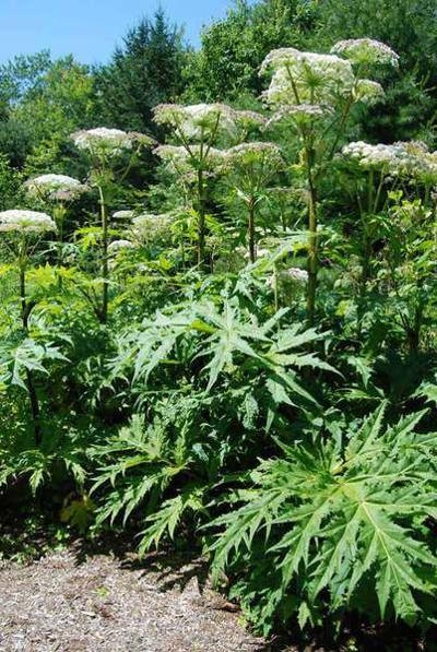 Experts brace for invasion of giant hogweed