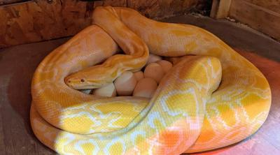 Courtesy of JTA: Photo Credit: Biblical Museum of Natural History Shayna, a twelve-foot albino Burmese python, with her recent batch of 38 eggs.