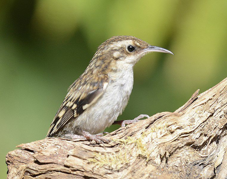 City Wilds: Meet a Shy, Tree-hugging Sort: the Brown Creeper | Sports And  Outdoors | anchoragepress.com