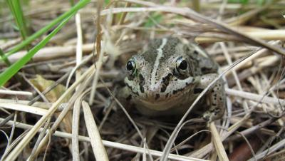 wood frog by Ned.JPG