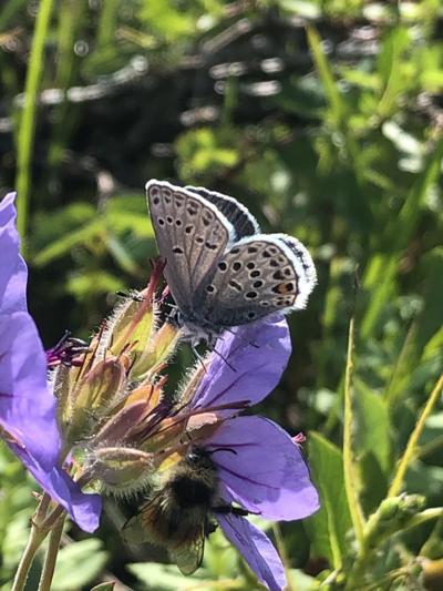 Azure butterfly and bumblebee on wild geranium, Chugach Front Range