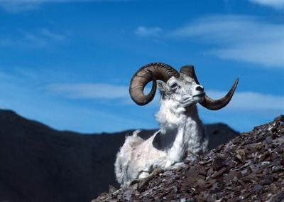 Dall sheep in the Chugach State Park