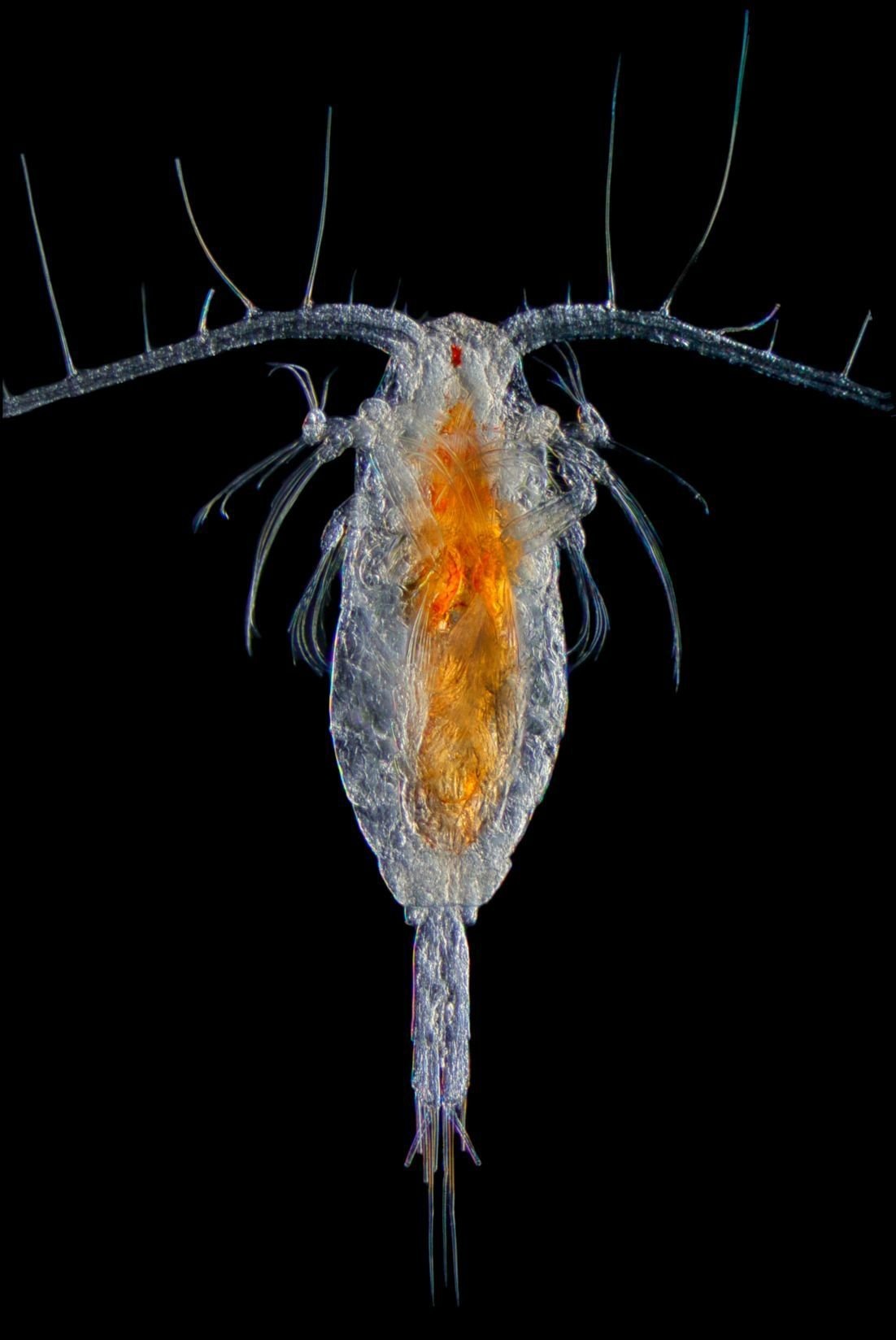 PC Caitlin McKinstry of Prince William Sound Science Center plankton type Mesocalanus_v2.2.tiff