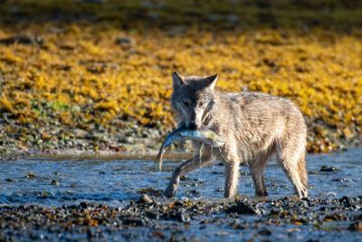 Wolf beim Lachsfang
