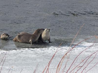 River Otters in Yellowstone Park. (Wikimedia Commons)