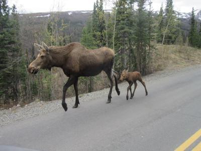 Moose cow and calf on Denali Park Road.JPG