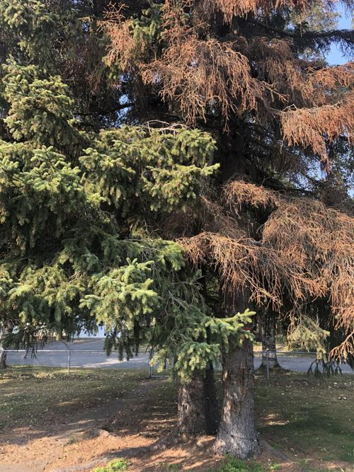 To Spray or Not to Spray? Spruce Trees and Bark Beetles