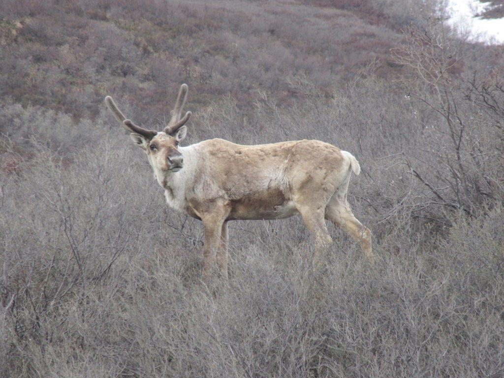 Caribou along Denali Park Road.JPG