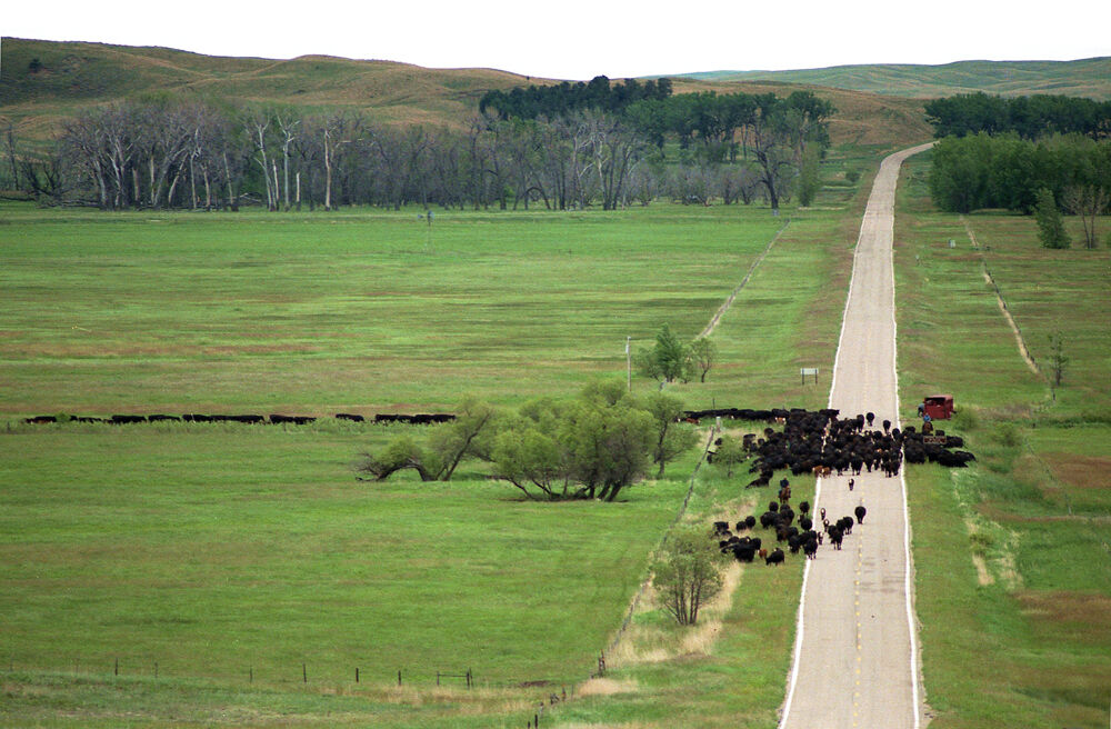 2. cattle drive (reduced).jpg