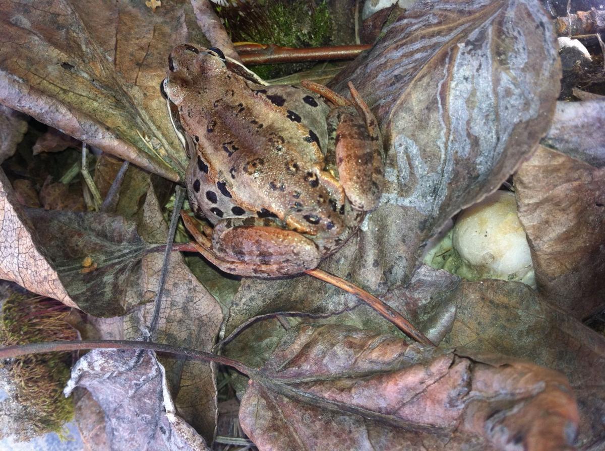frogs among us in search of alaska u0027s elusive amphibians news
