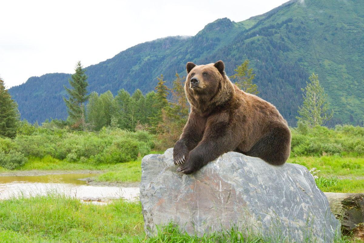 AWCC Brown Bear by Doug Lindstrand.JPG