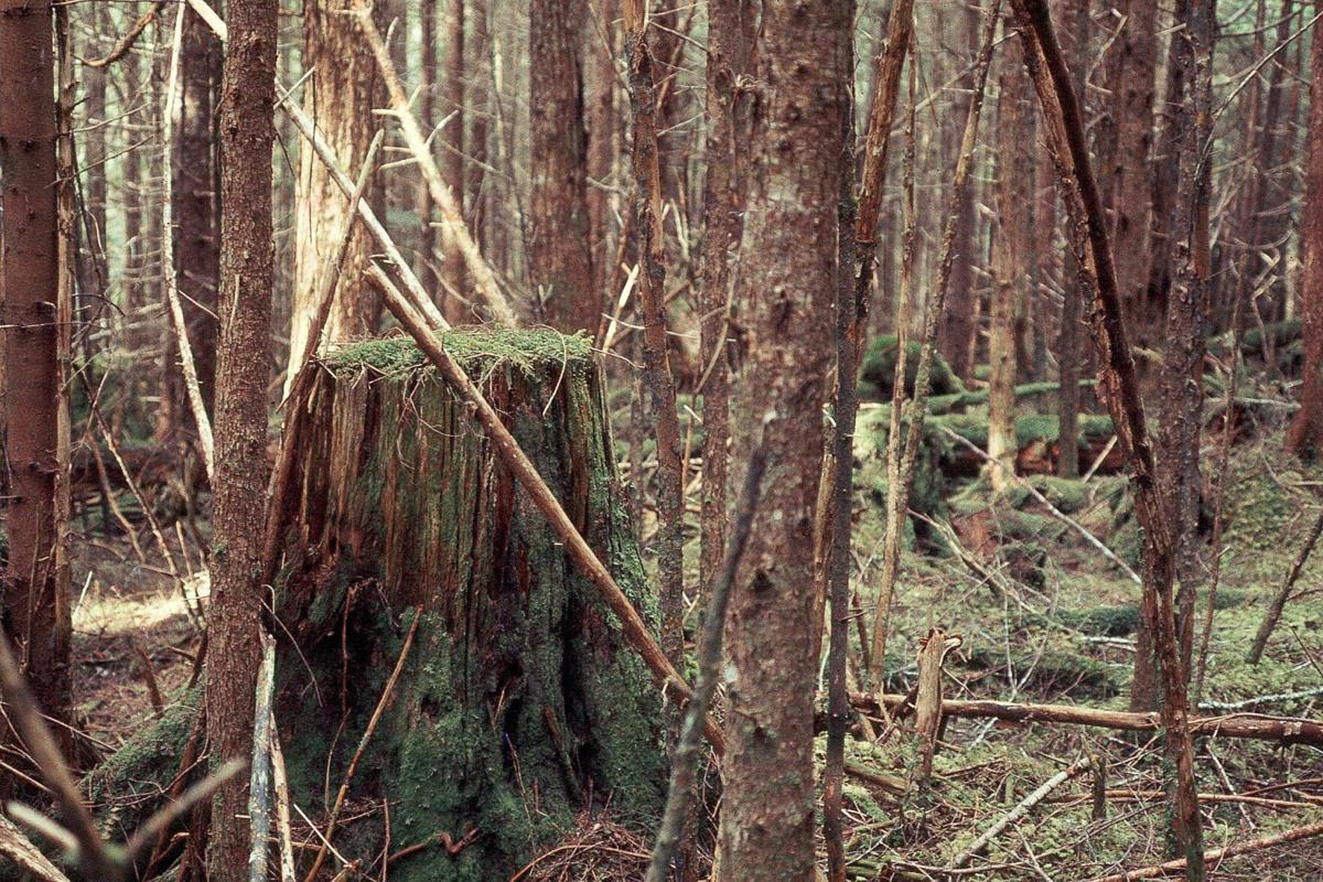 60 year second growth, Admiralty Island, Tongass National Forest