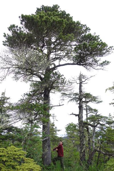 1. Ben Gaglioti cores a pine.jpg
