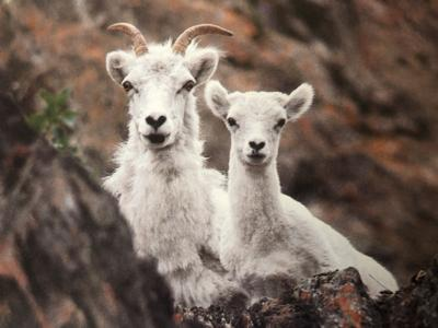 Dall sheep and ewe in the Chugach State Park. (Photo by Bill Sherwonit)