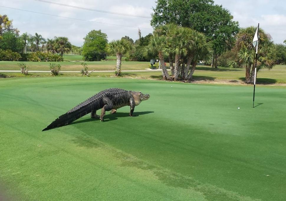 Golf Gator