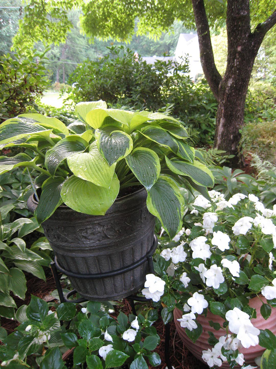 1. Right place - shade: 'STAINED GLASS' HOSTA