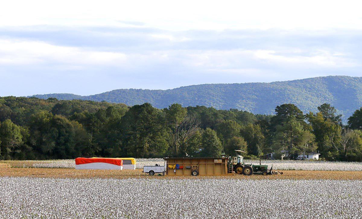 103018_Cotton farming_002 tp.jpg