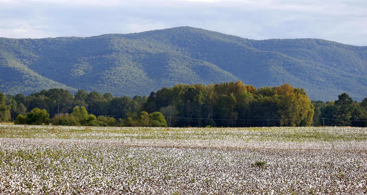 103018_Cotton farming_004 tp.jpg