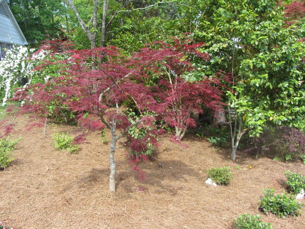 Sherry Blanton 'Rebirth' tree