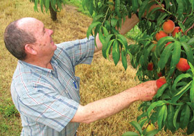 George Smith: The Peaches — It's a grand year, best in last three …