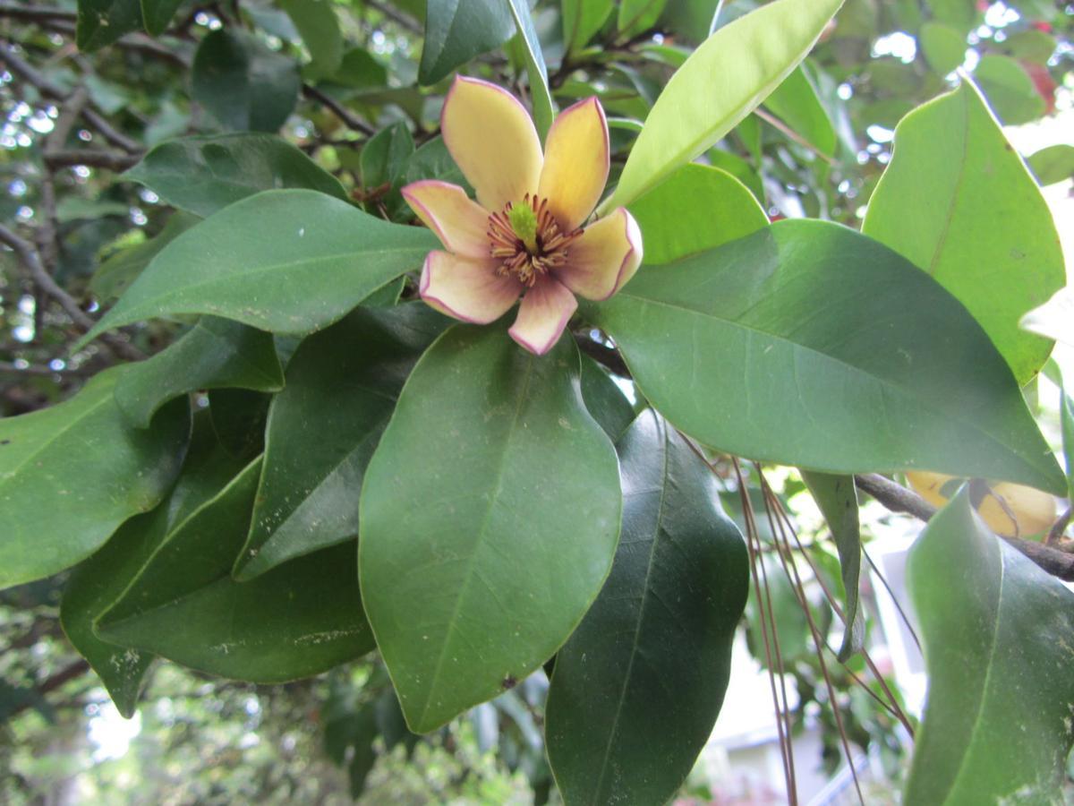 APR Banana shrub.JPG