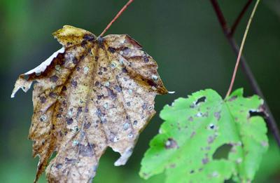 Leaves dry