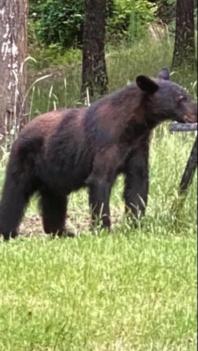 Ohatchee bear sighting