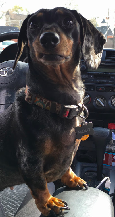 Molly the dachshund 2