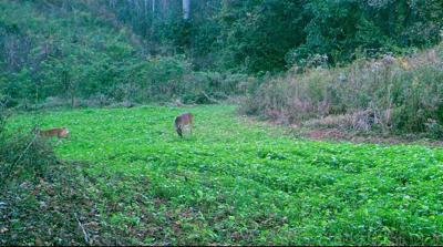 Deer plot