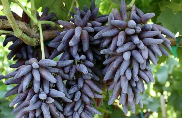 Tear Drop grapes