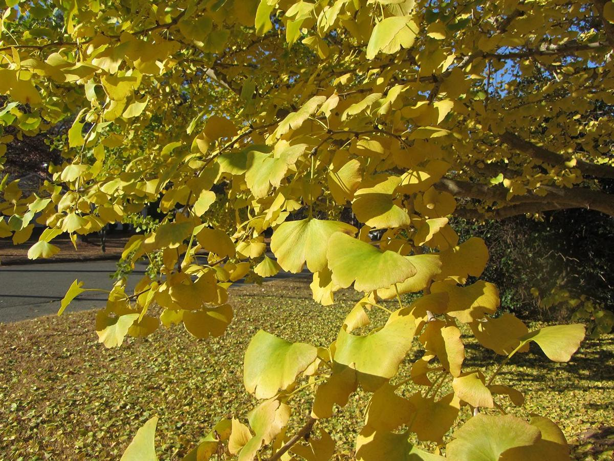 Ginkgo - Do not sniff!
