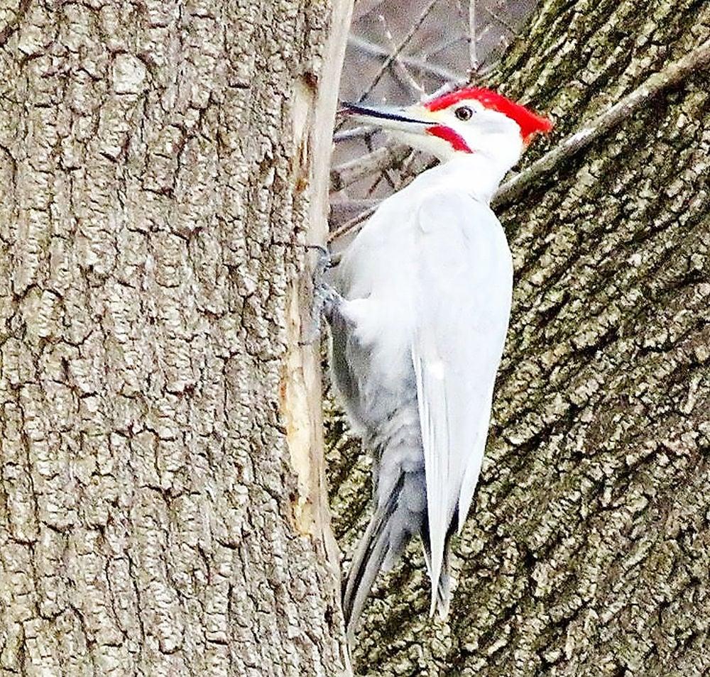 Leucistic pileated woodpecker