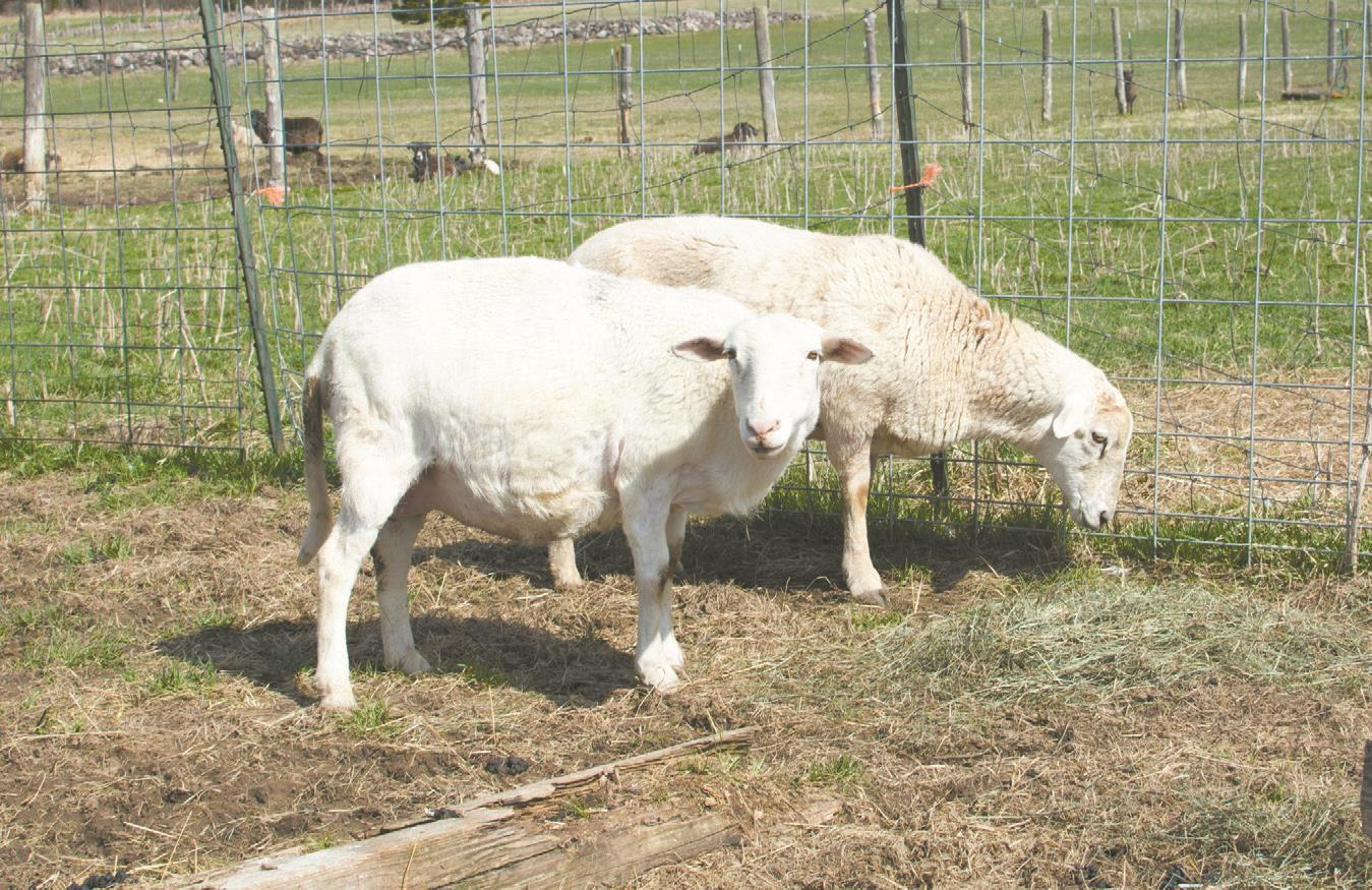 Wolves kill three dozen sheep on Park Falls farm