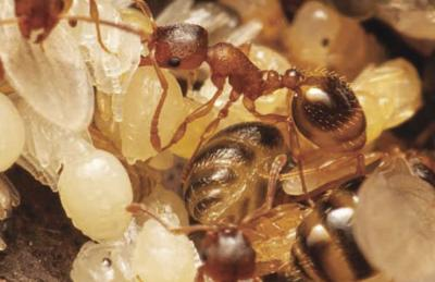 Natural Connections: Temnothoraz ants