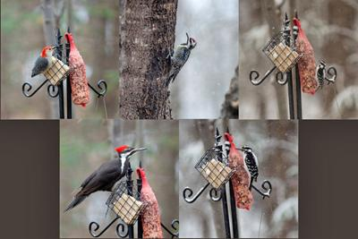 Woodpeckers galore