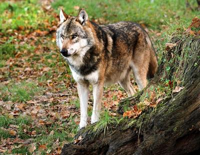 Knight Life: Wolf populations in other states impact Wisconsin rules
