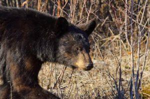 Black bear hunting