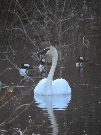 Swans Have Come Back >> Natural Connections Beavers And Swans Have Comeback Stories Free