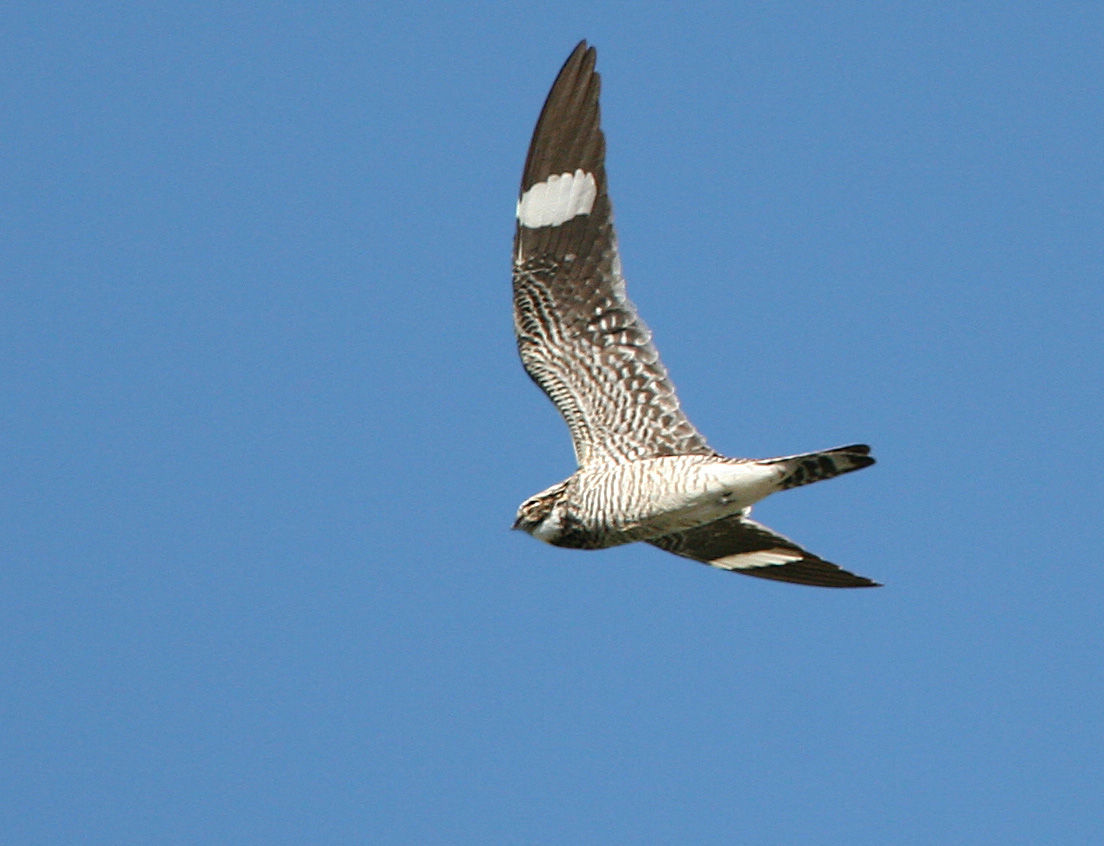 6-19-2020 Common_nighthawk photo by Gary L. Clark.jpg