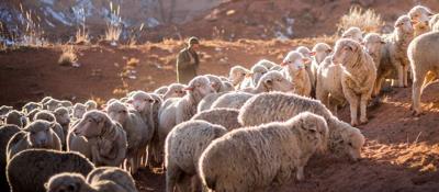 Writers block: New terrain for shepherds, flocks