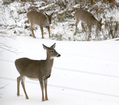 Antlerless doe deer
