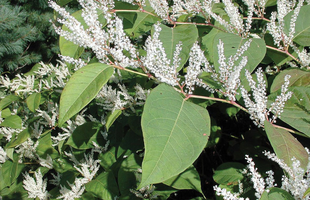 Knotweed in bloom
