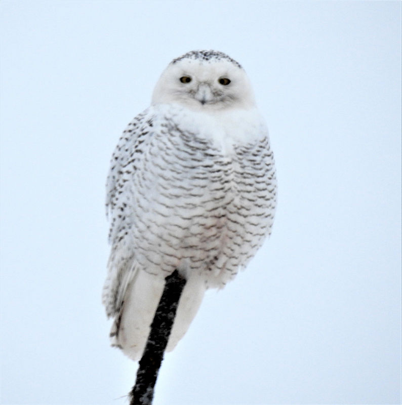two snowy owls visiting from the arctic were spotted on this years fifield park falls audubon christmas bird count this one on camp 5 road - Audubon Christmas Bird Count