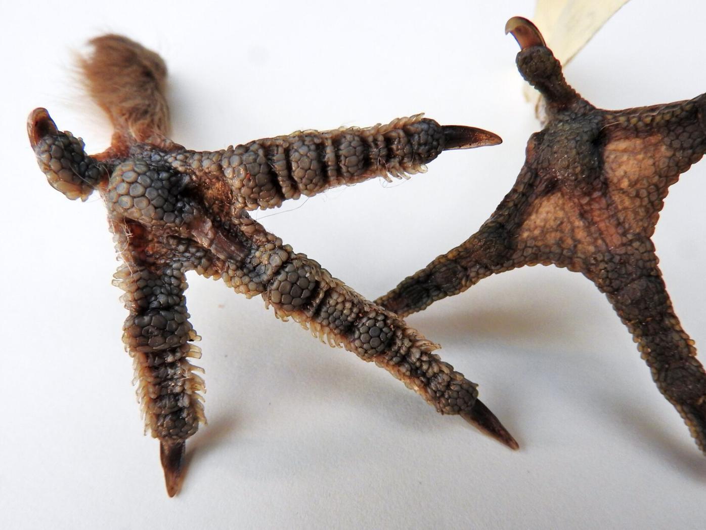 Grouse feet