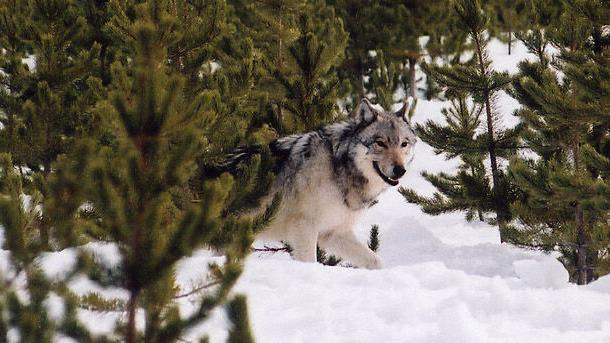 Members of Wisconsin DNR's policy-setting board object to agency's stance on wolf population