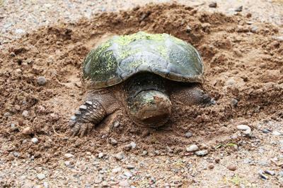 Snapper turtle